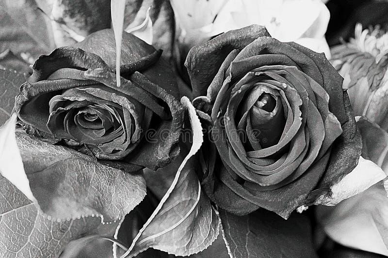 Rosas blancos y negros fotografía de archivo