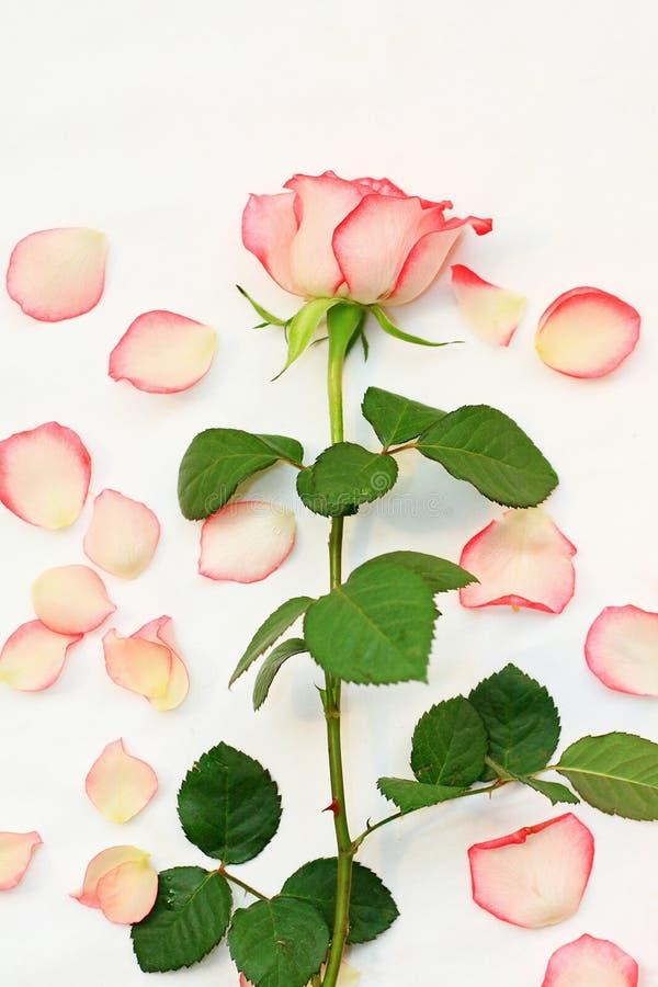Rosas bonitas, cor-de-rosa foto de stock