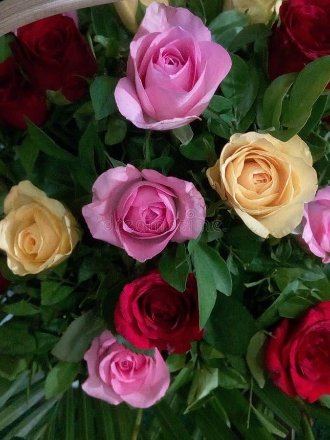 Rosas bonitas e frescas com folhas verdes imagens de stock