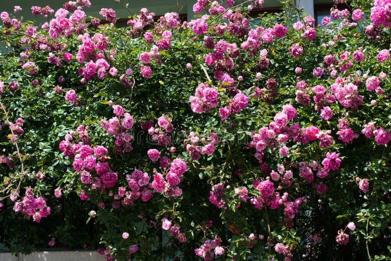 Rosas bonitas na natureza fotografia de stock royalty free