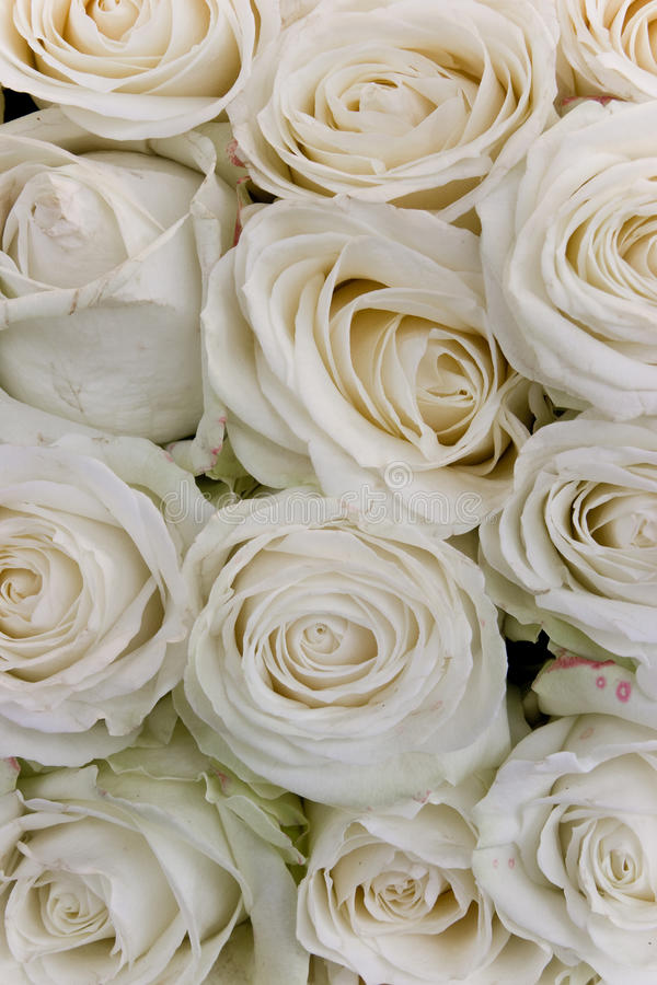 Rosas brancas fotos de stock
