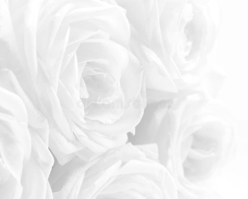 Rosas brancas bonitas como o fundo do casamento Foco macio KE alto fotos de stock royalty free
