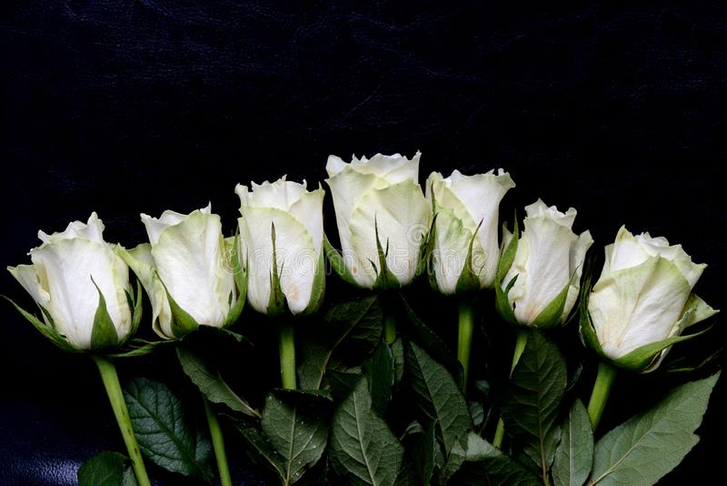 Rosas brancas bonitas em um fundo escuro fotografia de stock royalty free