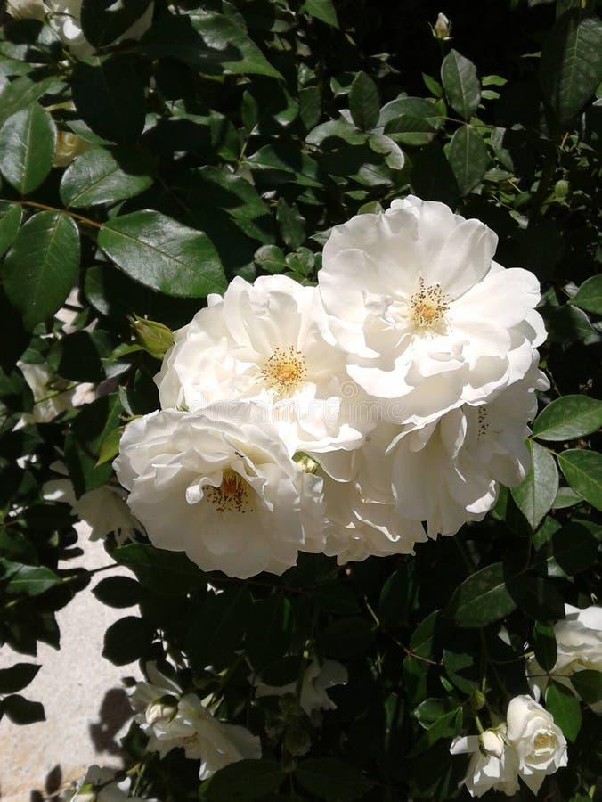 Rosas brancas bonitas em um jardim imagens de stock royalty free