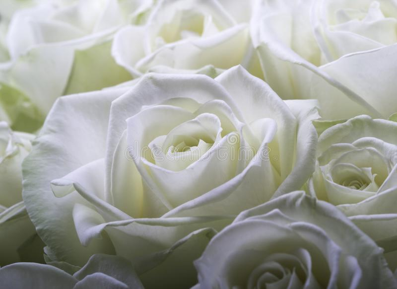Rosas brancas de creme fotos de stock