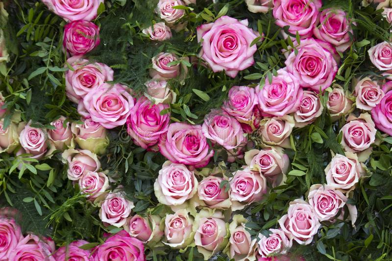 Rosas brancas e cor-de-rosa do fundo das rosas - imagens de stock
