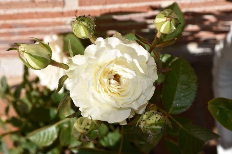 Rosas brancas e folhas imagens de stock royalty free