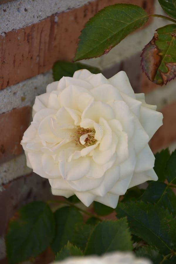 Rosas brancas e folhas foto de stock royalty free