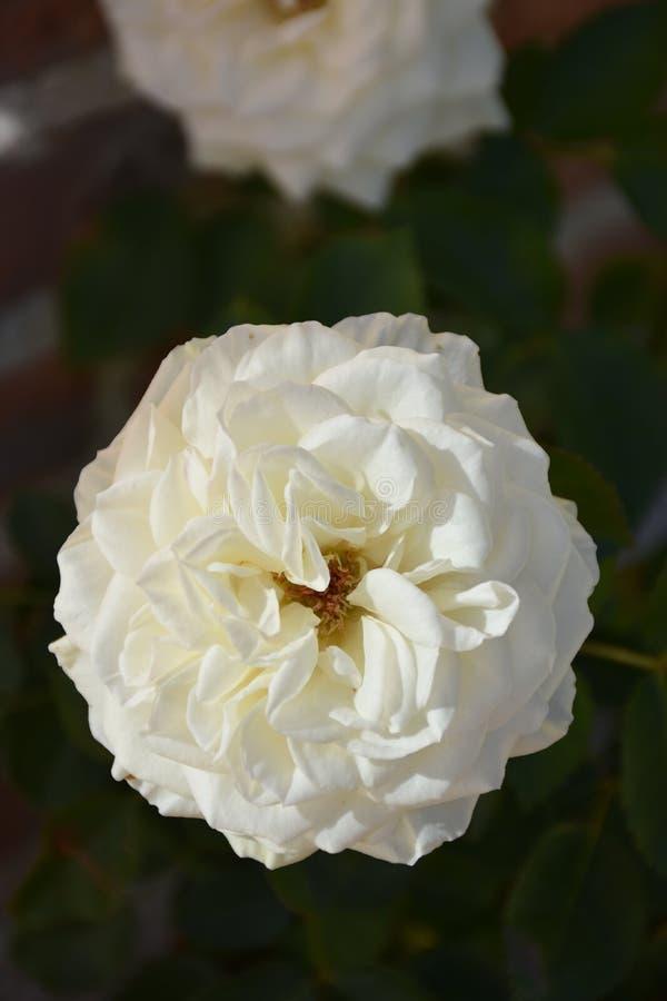 Rosas brancas e folhas fotografia de stock