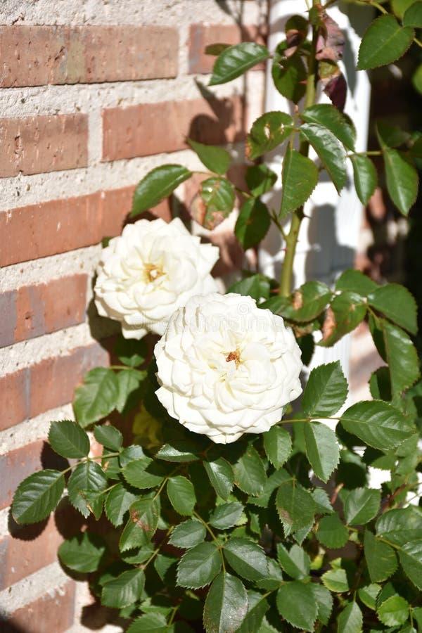 Rosas brancas e folhas fotos de stock