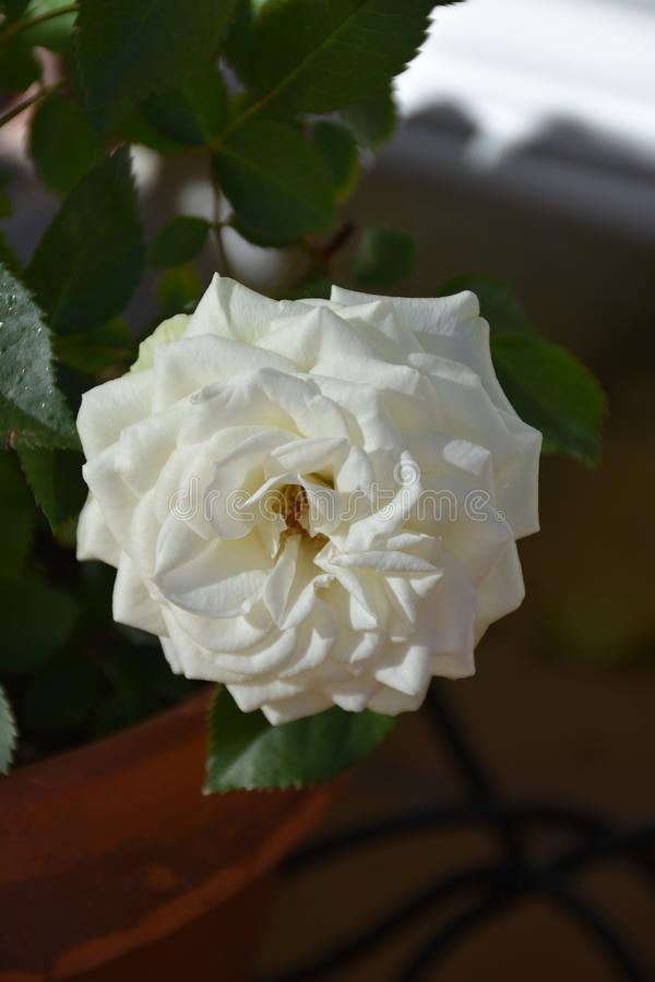 Rosas brancas e folhas imagens de stock