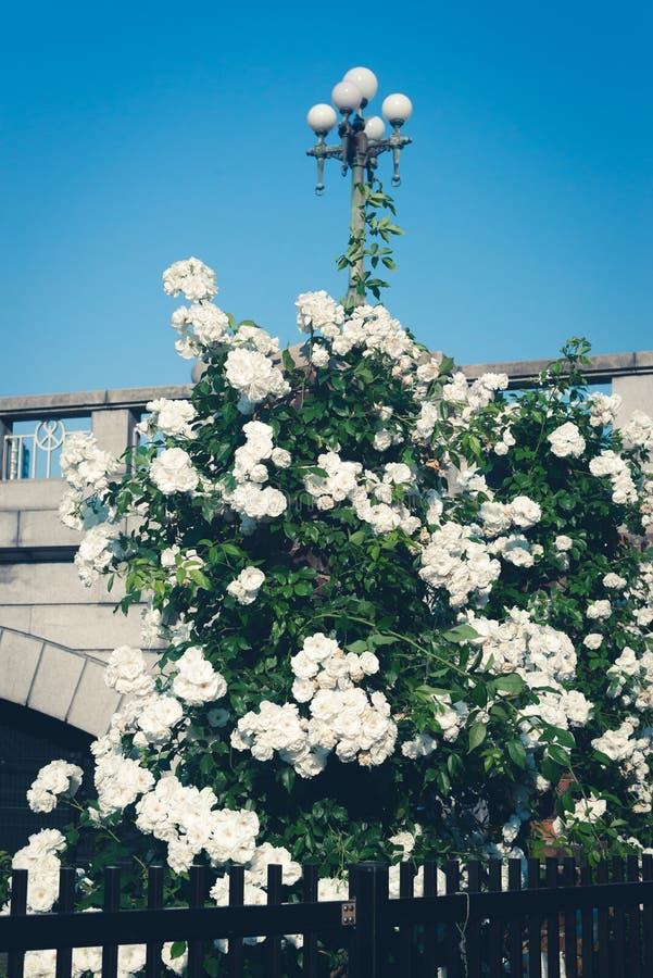 Rosas brancas e ponte fotografia de stock royalty free