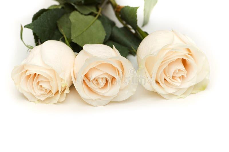 Rosas brancas isoladas no fundo branco imagem de stock