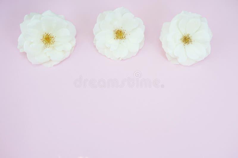 Rosas brancas no fundo cor-de-rosa pastel com espaço da cópia Configura??o lisa, vista superior imagens de stock