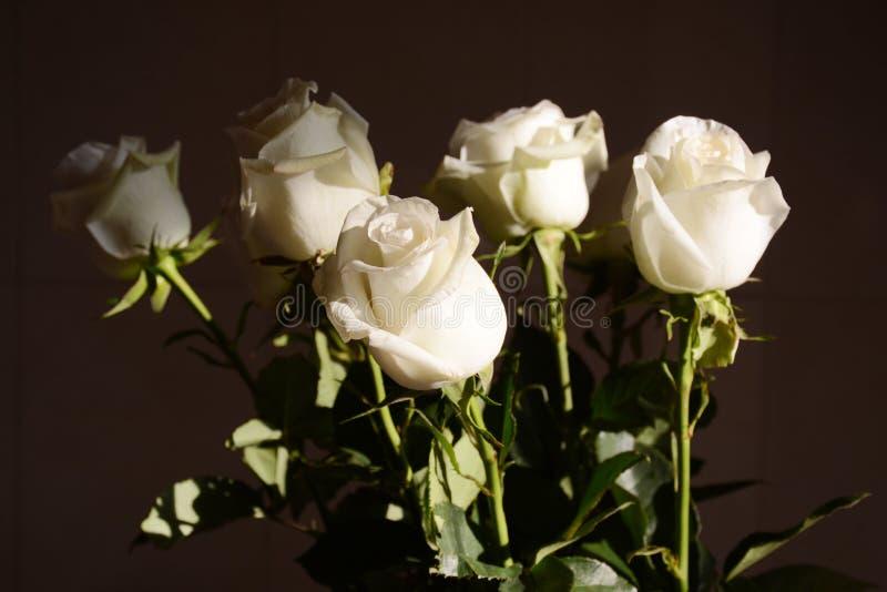 Rosas brancas no fundo escuro imagens de stock royalty free