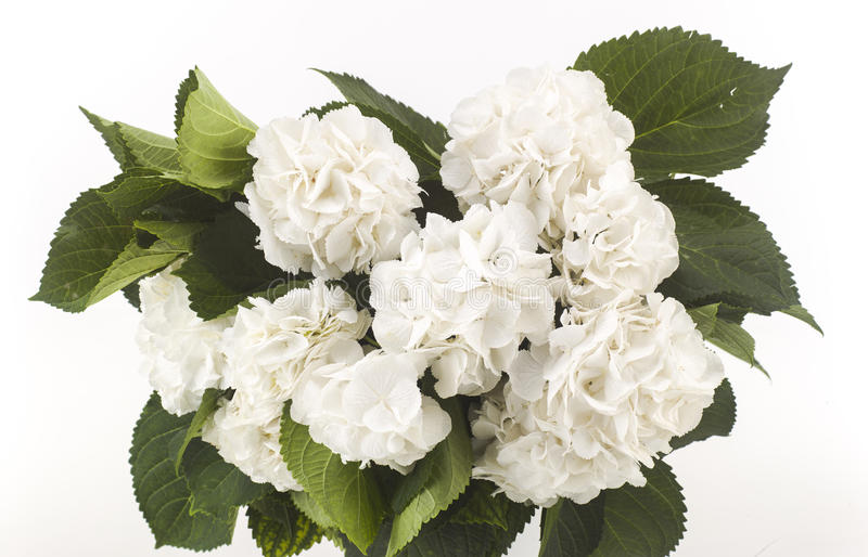 Rosas brancas selvagens isoladas imagens de stock royalty free