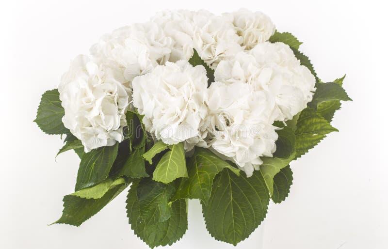 Rosas brancas selvagens isoladas fotografia de stock