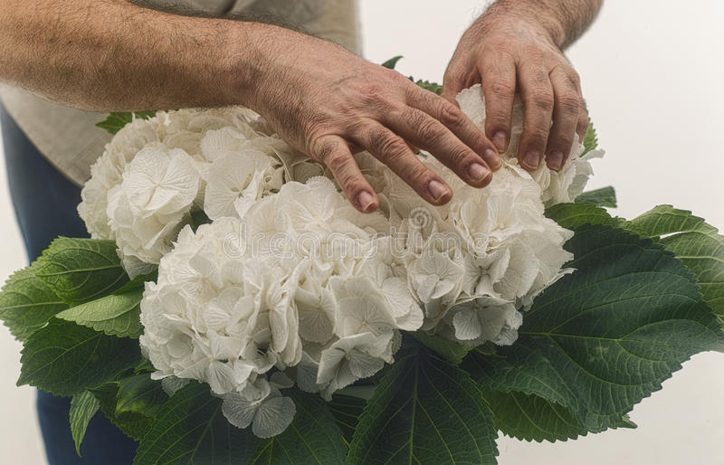 Rosas brancas selvagens tocantes do homem foto de stock royalty free