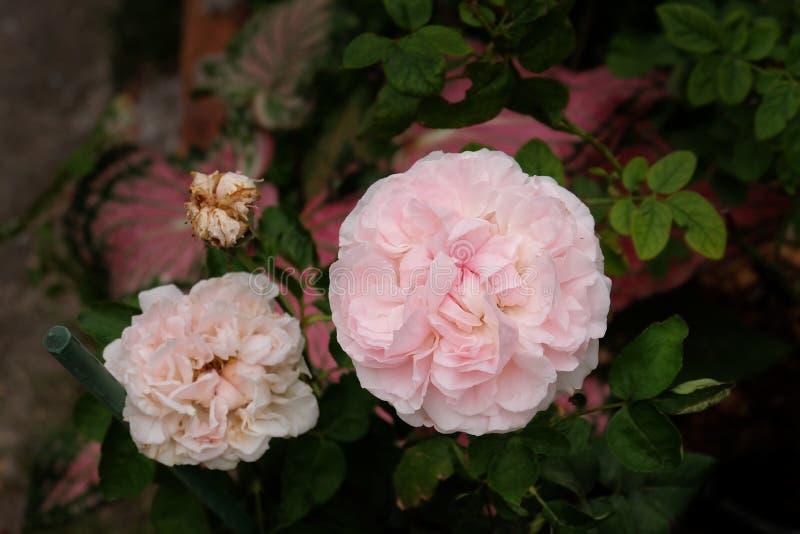 Rosas Bush hermosas en el jardín, rosas para Valentine Day imagen de archivo libre de regalías