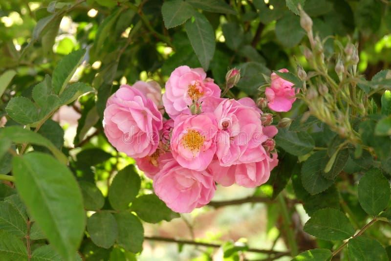 Rosas Bush hermosas en el jardín, rosas para Valentine Day fotografía de archivo libre de regalías