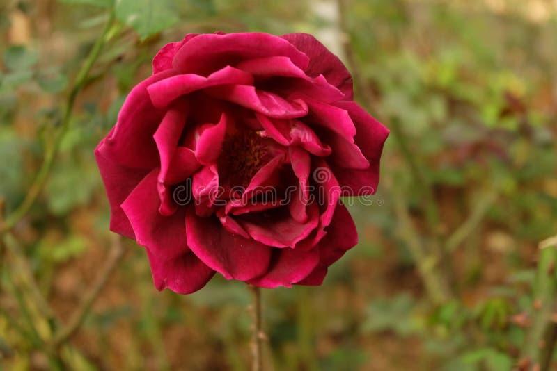 Rosas Bush hermosas en el jardín, rosas para Valentine Day foto de archivo libre de regalías