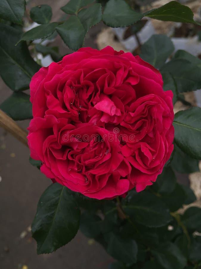 Rosas Bush hermosas en el jardín, rosas para Valentine Day imagenes de archivo