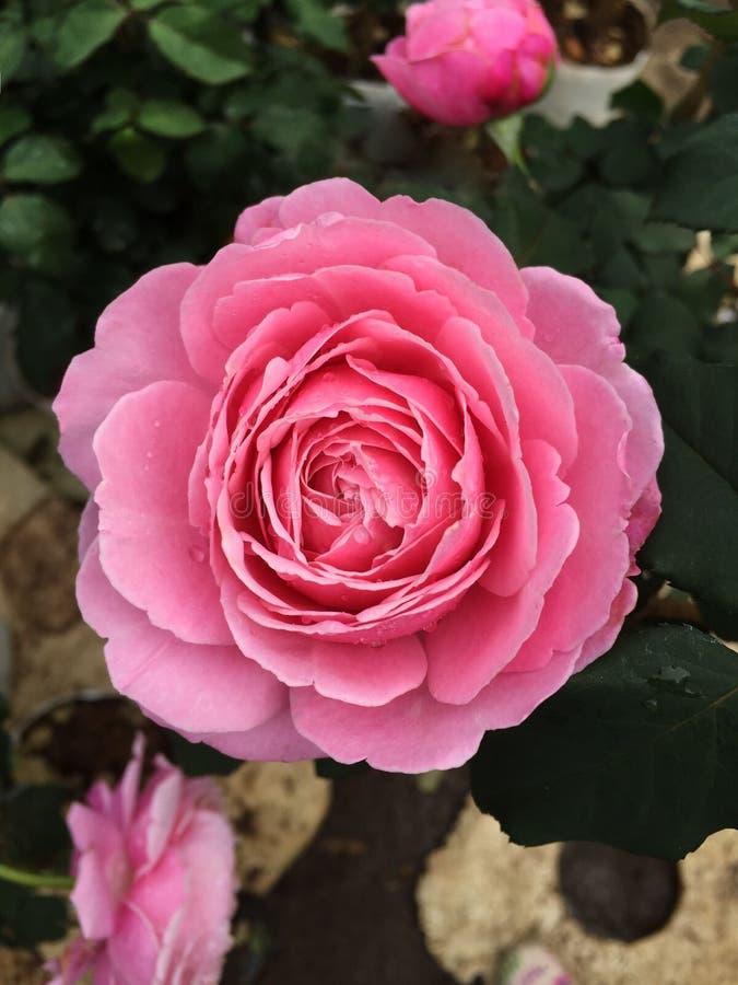 Rosas Bush hermosas en el jardín, rosas para Valentine Day imagen de archivo