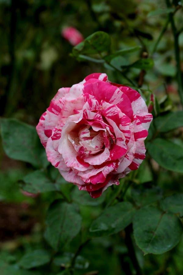 Rosas Bush hermosas en el jardín, rosas para Valentine Day fotos de archivo