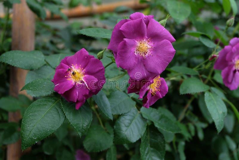 Rosas Bush hermosas en el jardín, rosas para Valentine Day fotografía de archivo