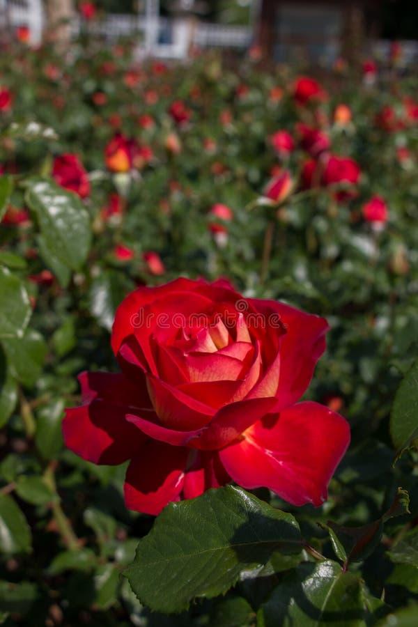 Rosas coloridas bonitas de florescência no jardim fotos de stock