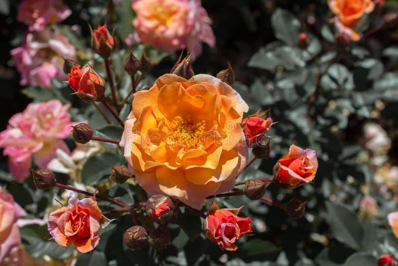 Rosas coloridas bonitas de florescência no jardim fotografia de stock