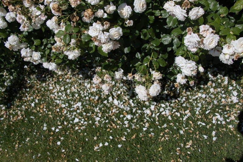 Rosas coloridas bonitas de florescência no jardim imagens de stock