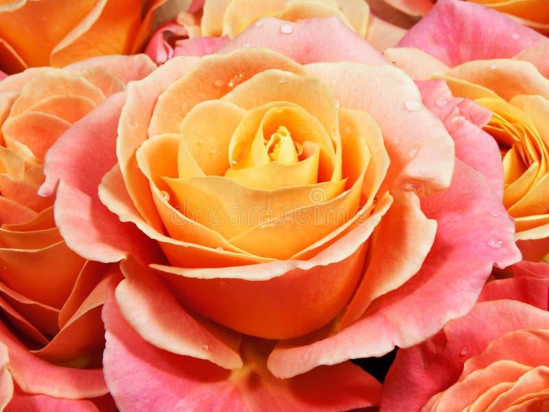 Rosas coloridas do close up (rosa, amarelo, alaranjados). foto de stock royalty free