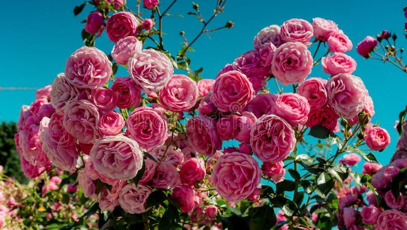 Rosas coloridas em um jardim de rosas fotos de stock
