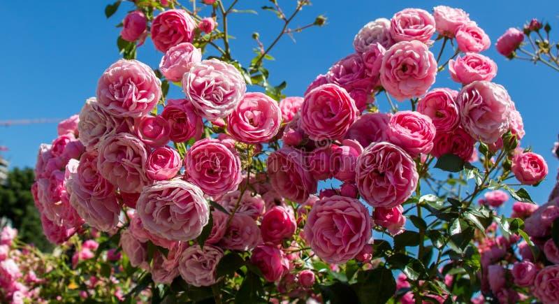 Download Rosas Coloridas En Una Rosaleda Imagen de archivo - Imagen de fondo, floral: 100535367