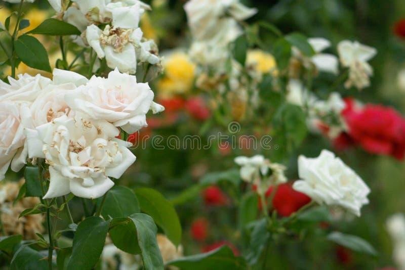 Rosas com as flores vermelhas, brancas e amarelas fotografia de stock royalty free