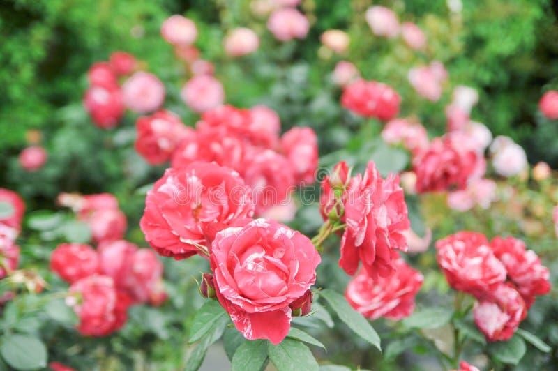 Rosas con los pétalos semidobles del color, rojos y blancos fotografía de archivo libre de regalías