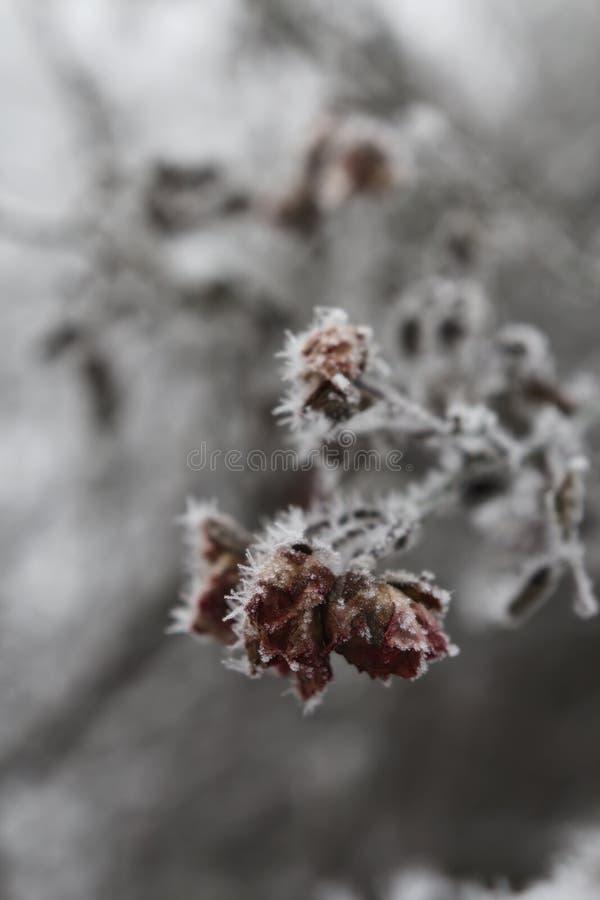 Rosas congeladas foto de archivo