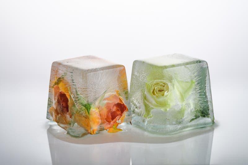 Rosas congeladas en cubos de hielo fotos de archivo
