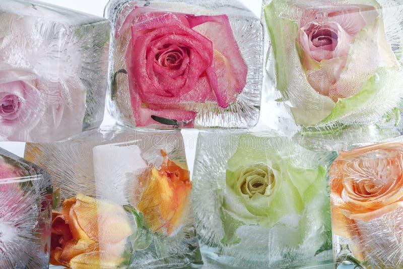 Rosas congeladas en cubos de hielo imagenes de archivo