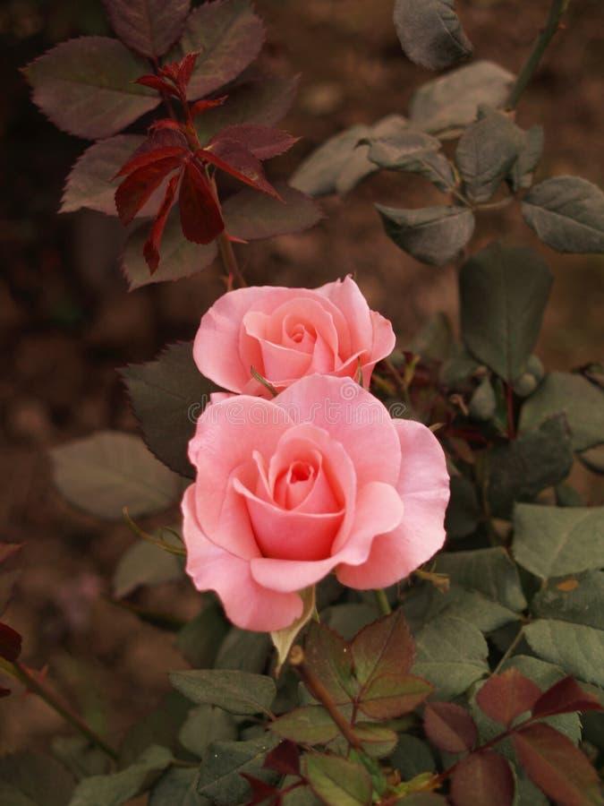 Download Rosas cor-de-rosa 01 imagem de stock. Imagem de jardim - 536537