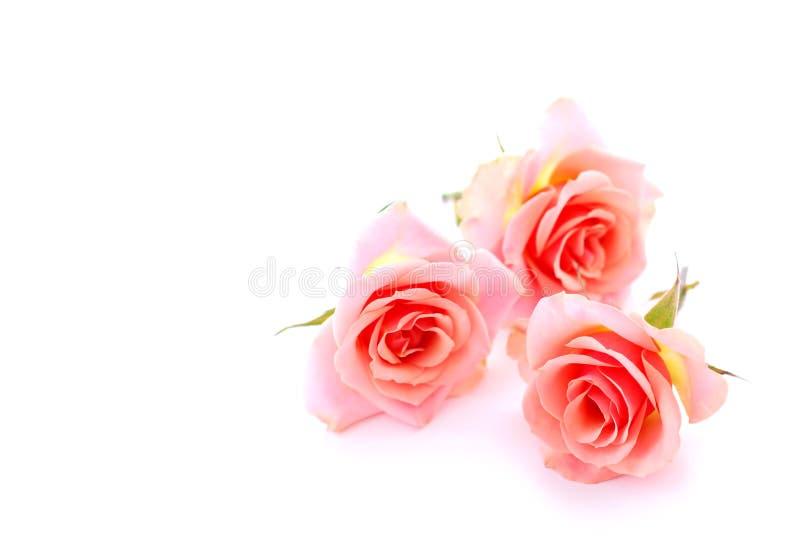 Rosas cor-de-rosa foto de stock royalty free