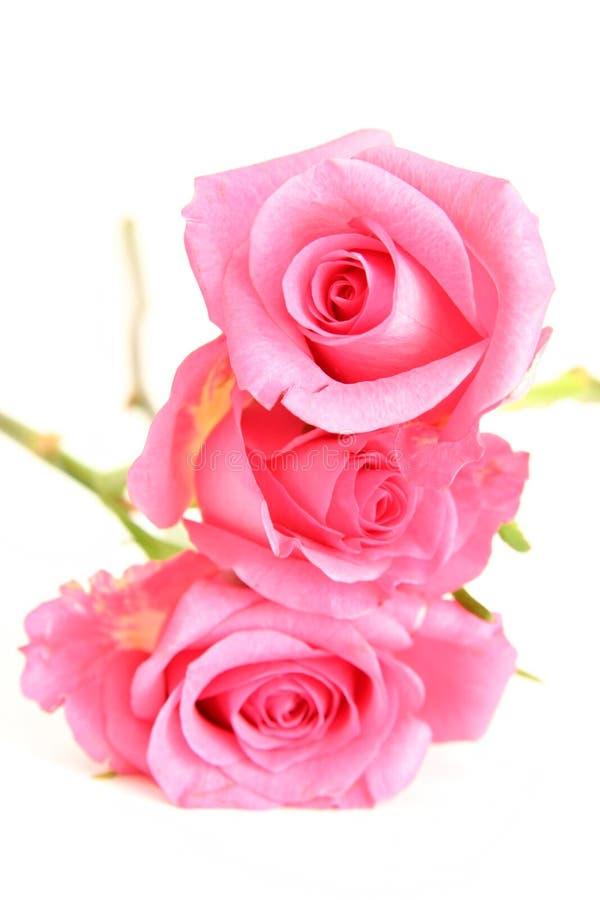 Rosas cor-de-rosa imagens de stock royalty free