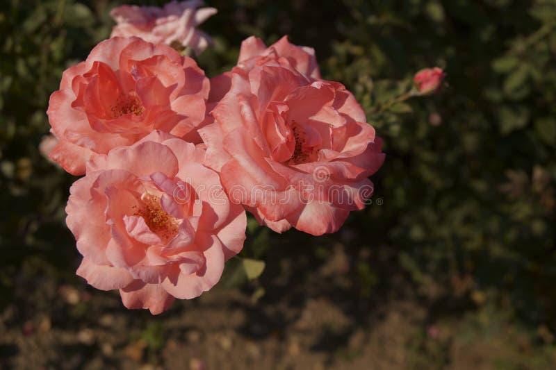 Rosas cor-de-rosa bonitas no jardim imagem de stock