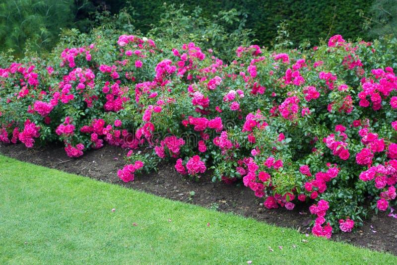 Rosas cor-de-rosa bonitas que florescem no jardim fotografia de stock