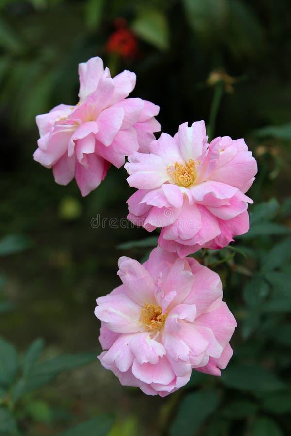 Rosas cor-de-rosa com fundo borrado imagens de stock