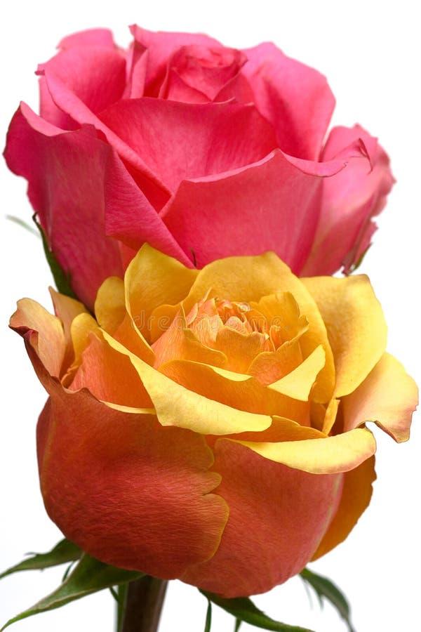 Rosas cor-de-rosa e amarelas imagens de stock