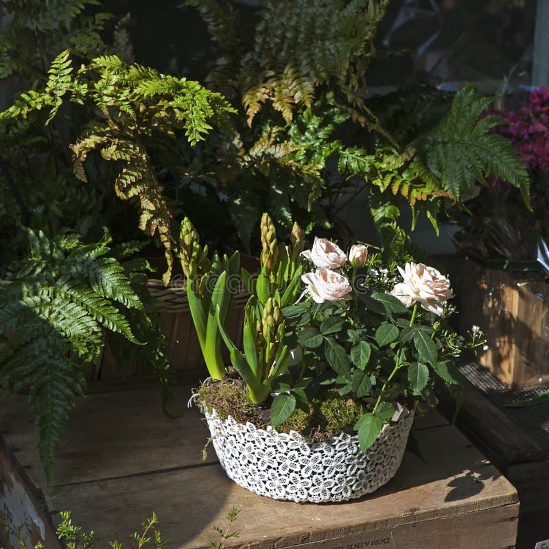 Rosas cor-de-rosa e jacintos não florescidos em um potenciômetro na perspectiva das folhas de uma samambaia fotos de stock royalty free