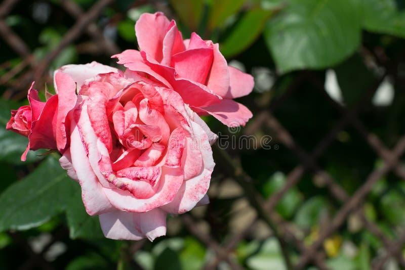 Rosas cor-de-rosa em um fundo das folhas verdes As flores cor-de-rosa no jardim fotos de stock royalty free
