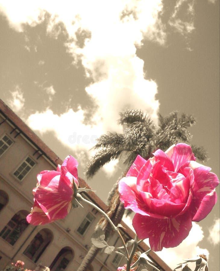 Rosas cor-de-rosa em um fundo do sepia imagem de stock
